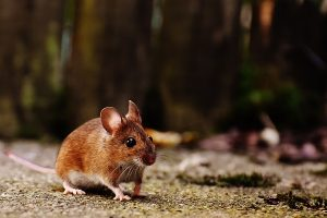 Rodent Control in Winter